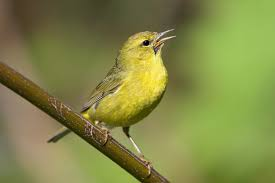 orange-crowned-warbler